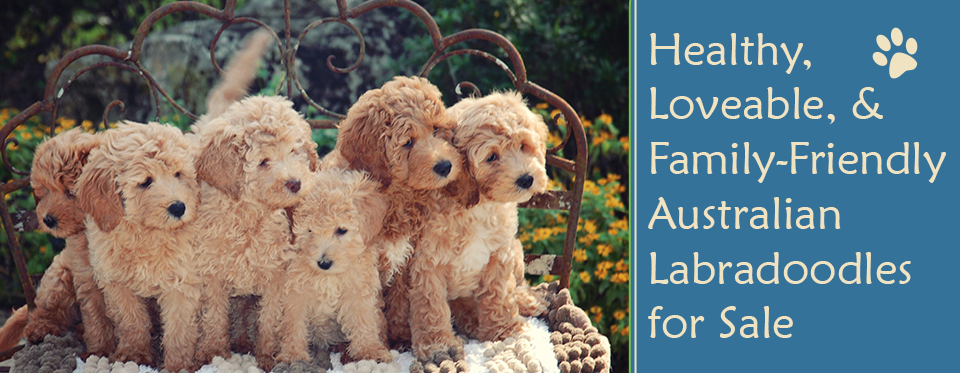 Labradoodle Breeder | Lake City, FL